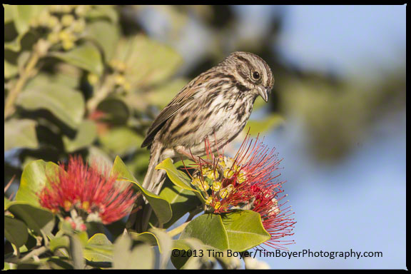 Song Sparrow feeding in the bushes at a park on the La Jolla coast.