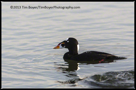 A male Surf Scoter in the calm protected waters at Bolsa Chica.