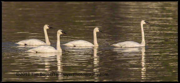 Trumpeter Swans on Lake Washingoton.