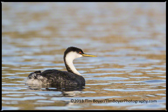 Western Grebe in the still waters of morning, Bolsa Chica.
