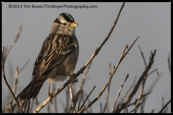 White-crowned Sparrow at Bolsa Chica Reserve, morning light.