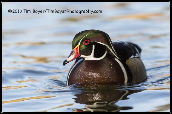 Wood Duck, Santee Lakes, CA