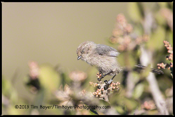 A Wrentit feeding in bushes in teh Cabrillo National Monument, San Diego CA.