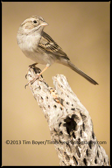 Brewer's Sparrow on a perch.