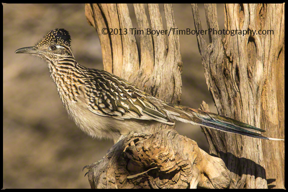 Greater Roadrunner on a Saguaro cactus stump.