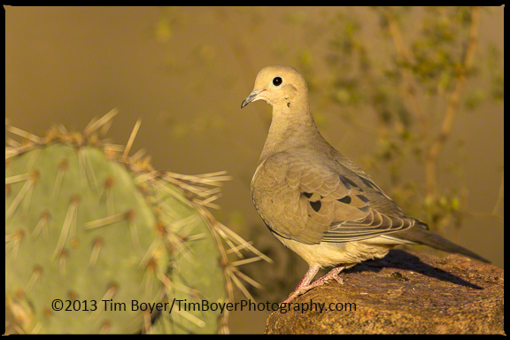 Mourning Dove in early morning light.