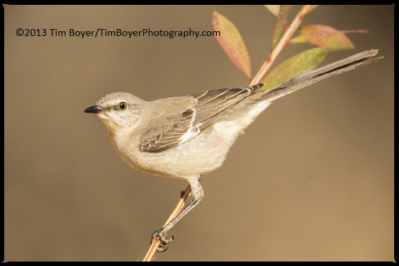 This Northern Mockingbird chased away other birds and was very territorial about the feeders.