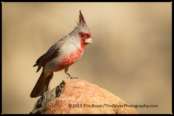 Desert camouflage, and a red front make this an interesting bird.