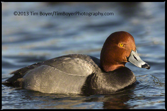 Redheads are shy but very beautiful birds. One of my favorite ducks.