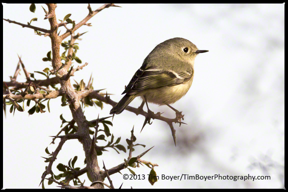Rudby-crowned Kinglet at Proctor Trailhead Parking lot.
