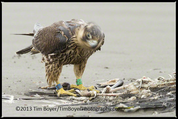 Peregrine Falcon K6 shaking off the rain and the Great Blue Heron it was feeding on.