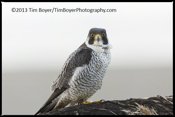Peregrine Falcon WZ alert to any movement in our car as we watched and photographed it.