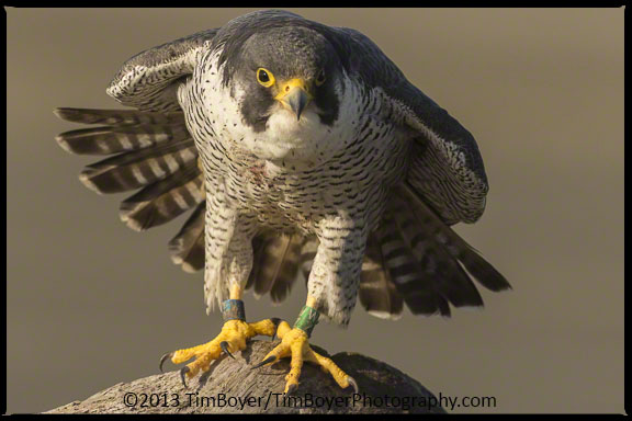 Peregrine Falcon banded WZ in the process of a wing stretch.