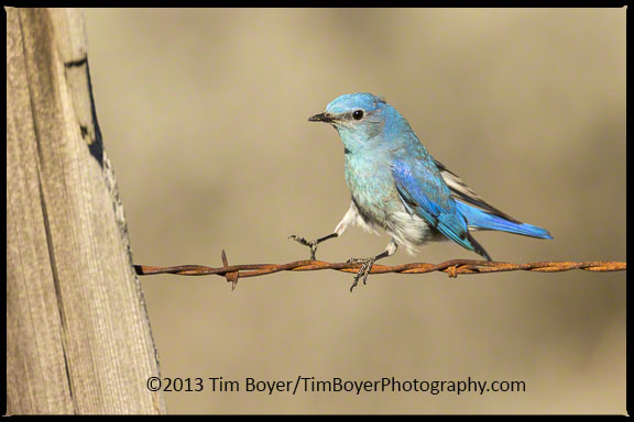 Male Mountain Bluebird landing on a fence, Old Vantage Highway.