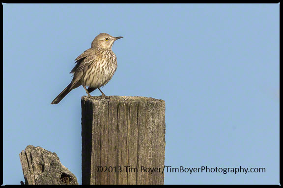 Sage Thrasher, Old Vantage Highway.