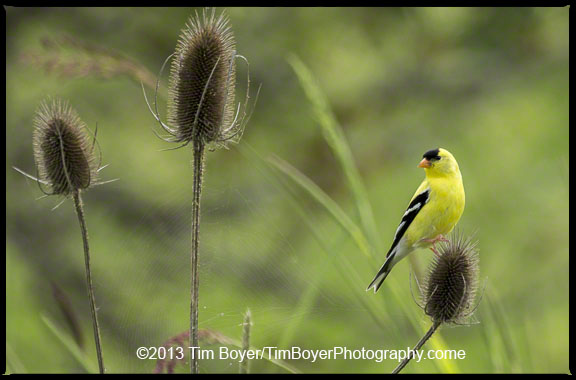 American Goldfinch eating thistle seeds.