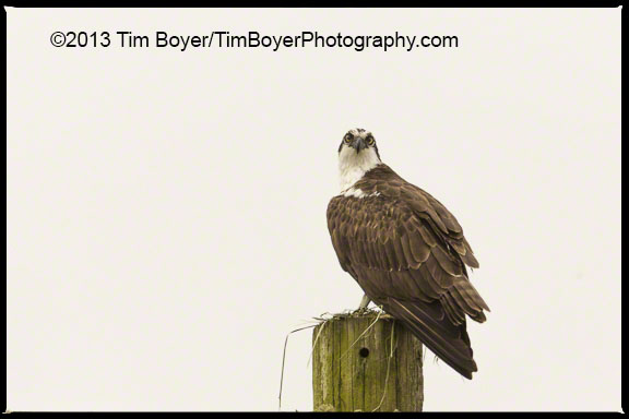 Osprey, Brady Loop Road