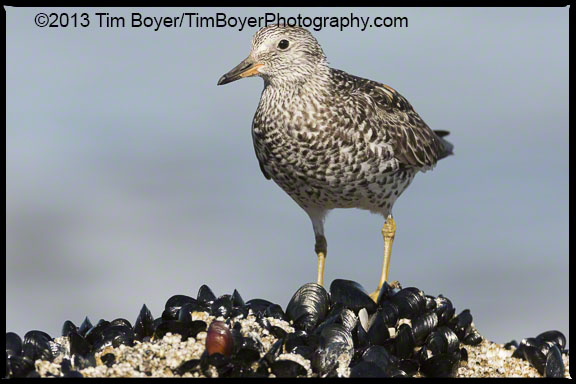 Breeding plumage Surfbird on teh North Jetty, Ocean Shores, WA.