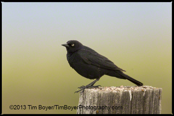 Brewer's Blackbird.