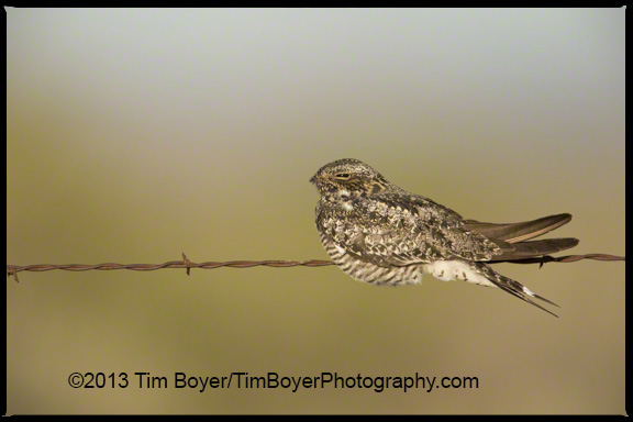 Common Nighthawk balancing on a wire.