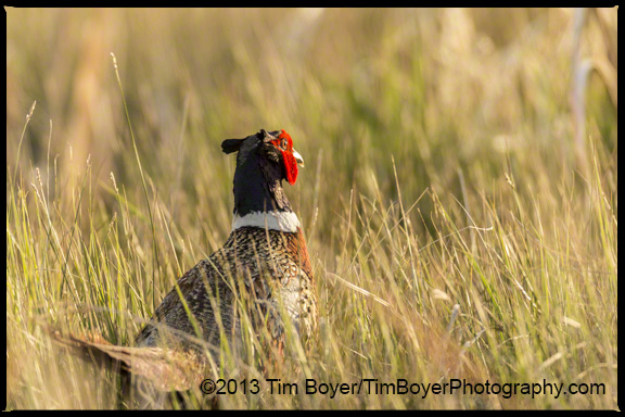 Ring-necked Pheasant walking back nto the cover of grasses.