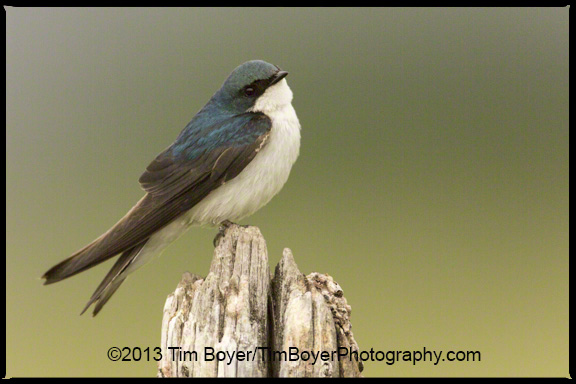 Tree Swallow taking a morning rest.