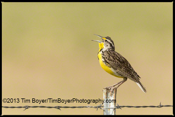 Western Meadowlark singing.