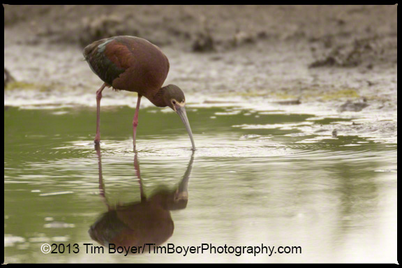 White-faced Ibis feeding.