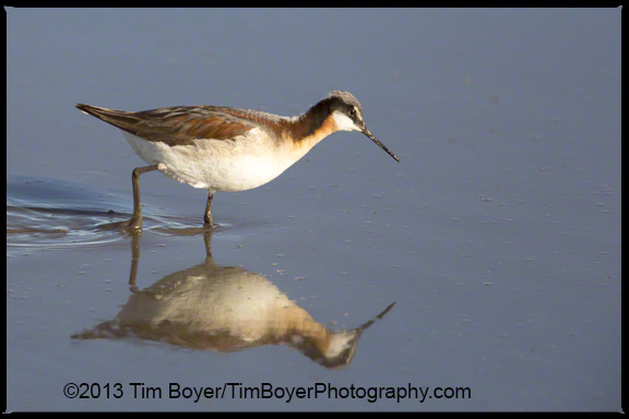 Wilson's Phalarope searching for food to pick off the waters surface.