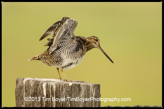 Wilson's Snipe stretching its wings.