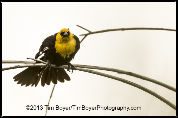 Yellow-headed Blackbird calling.