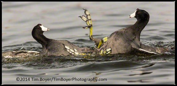Not sure what these American Coots were fighting about, maybe early spring posturing.