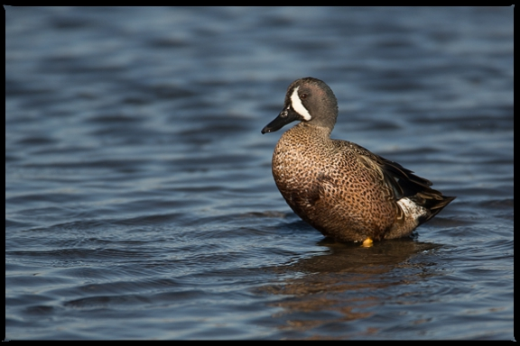 Blue-winged Teal resting on a rock just under the water line.