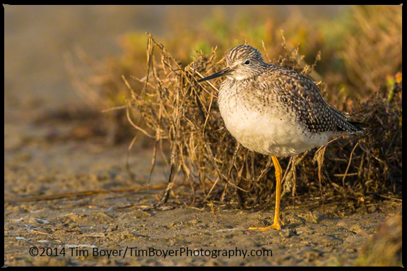 Greater Yellowlegs resting.