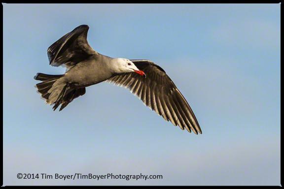 A Heermann's Gull not yet in full breeding plumage.