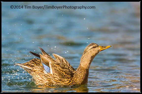 Female Mallard finishing a bath.