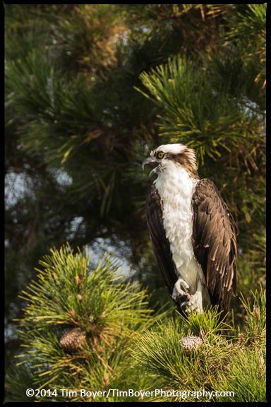 Resident Osprey
