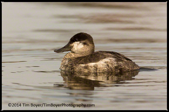 Winter plumage male Ruddy Duck.