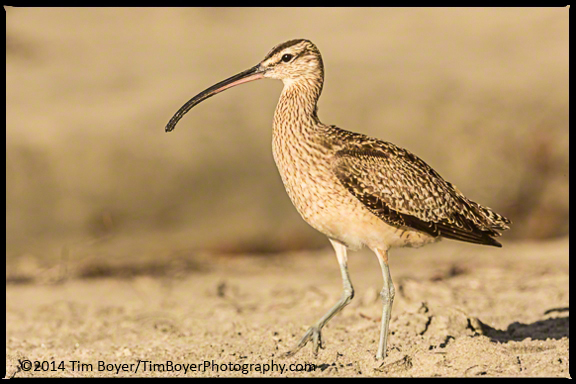 Whimbrel at Scripps Beach, CA