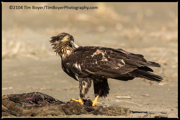 Sub Adult Bald eagle and seal carcass.