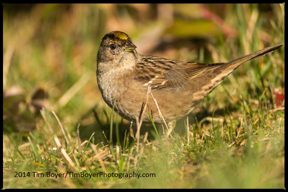 Golden-crowned Sparrow foraging for grass seeds.