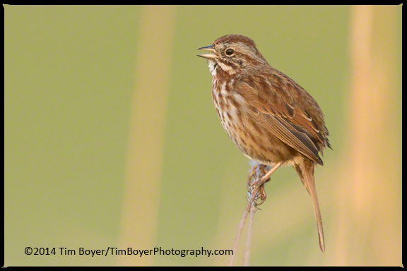 A Song Sparrow perched in cattails.