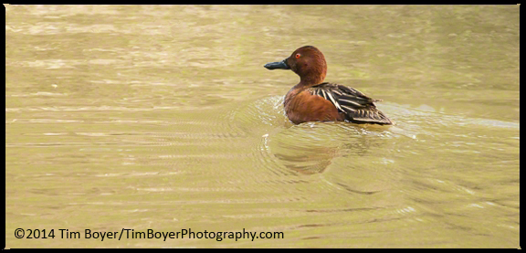 Male Cinnamon Teal, a little nervous of our walk by.