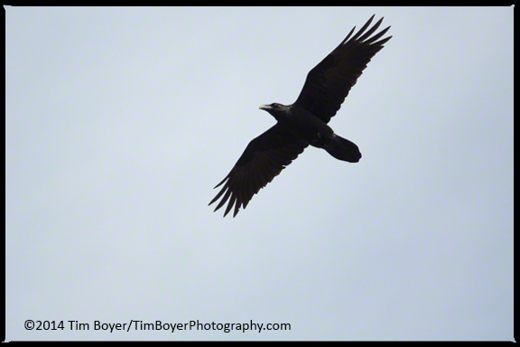 Common Raven soaring.