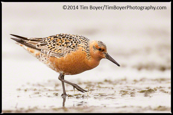 A Red Knot searching for food on Bottle Beach, Bottle Beach State Park.