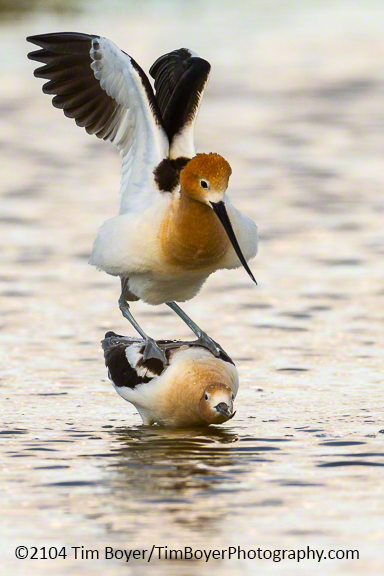 American Avocets on the County Line Ponds west of Othello, WA.