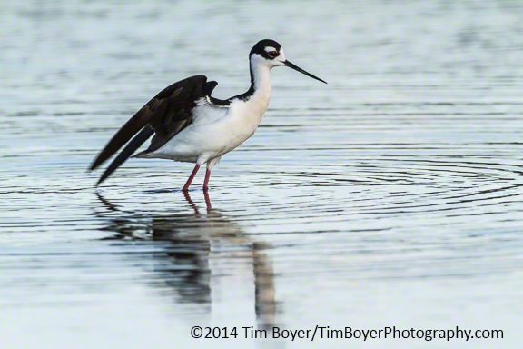 Black-necked Stilt just after landing.