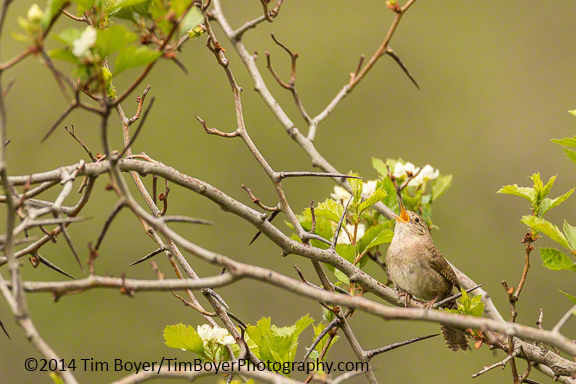 House Wren singing.
