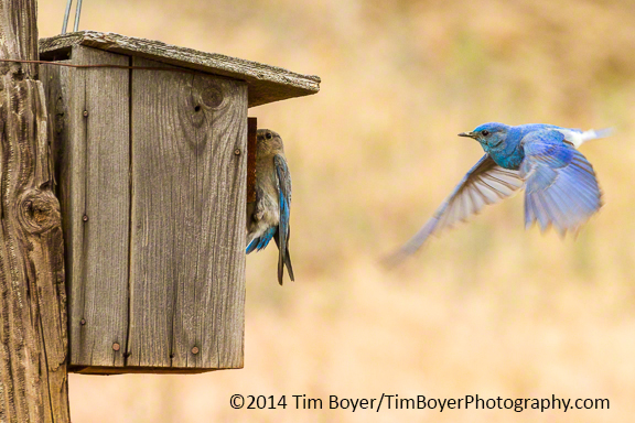 Mountain Bluebirds at thier nestbox.