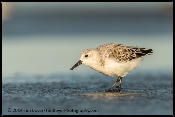 Sanderling looking for the  next meal.